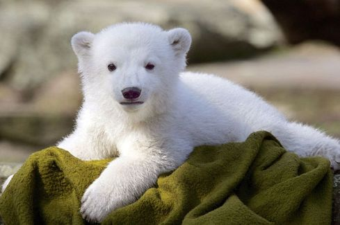 Knut the Polar Bear